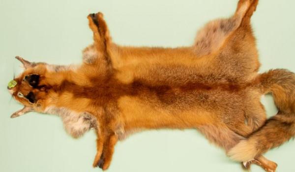 Rotfuchsbalg, Samantha pale, 1 skin, 90 cm